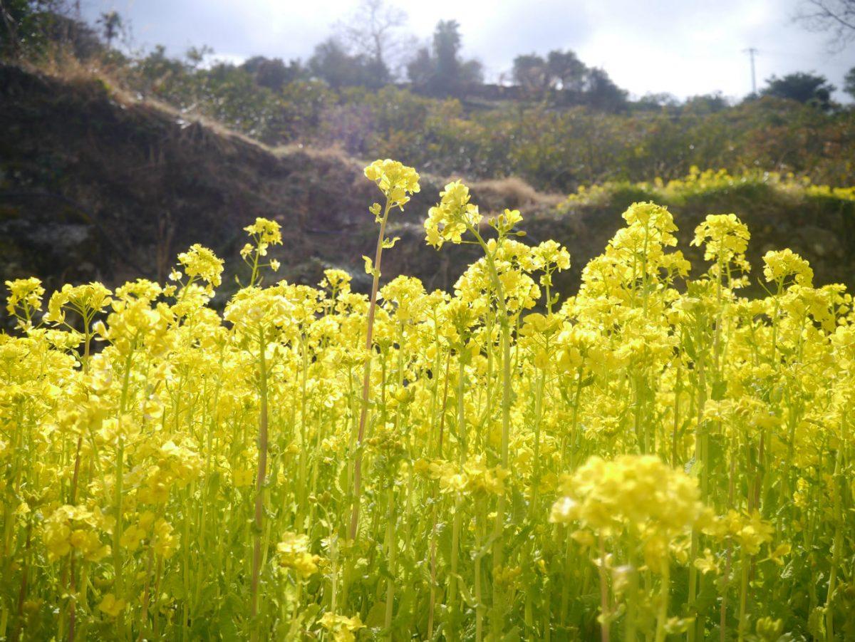 江田集落(神山町)の菜の花畑。