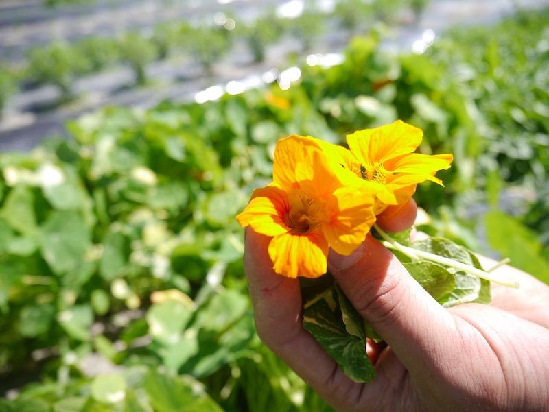 ナスタチウムという食べられるお花(エディブルフラワー)。ほんのり香りがします。